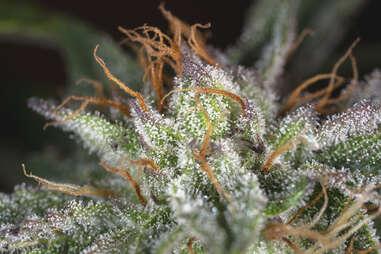 Hindu Kush marijuana weed strain plant