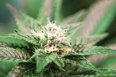 Marijuana For Yoga And Meditation Thrillist
