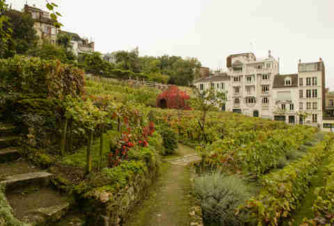 Paris vineyard in Montmartre district