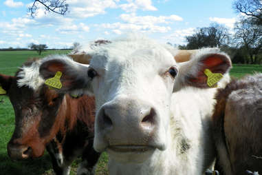 cows close up