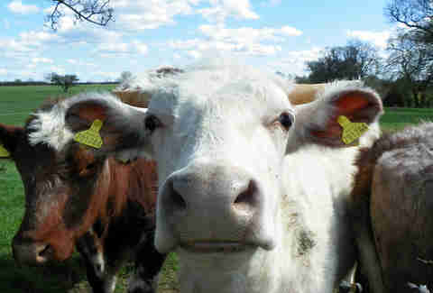 cows close up
