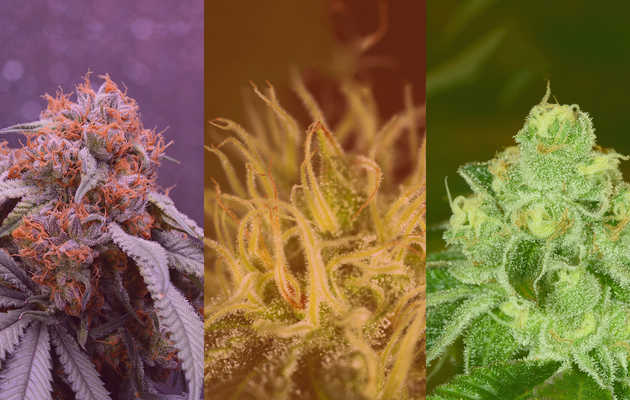 What's the Difference Between Indica, Sativa, and Hybrid Weed?