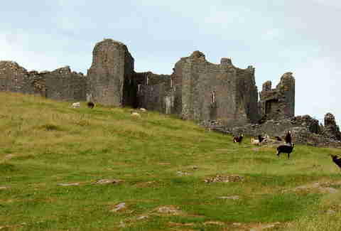 Animals grazing around Carreg Cennen castle