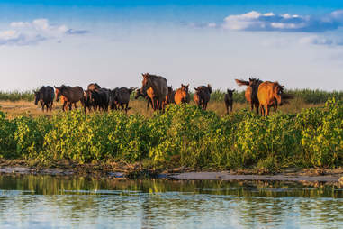 Horses along the Danube delta in Romania