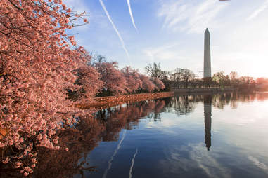 National Mall cherry blossoms