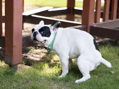 french bulldog pooping