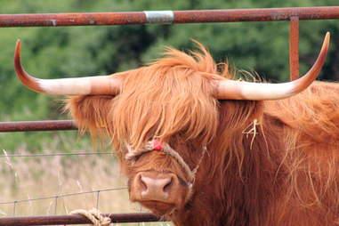 Houston Highland cow