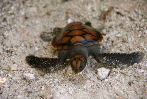baby turtle in texas