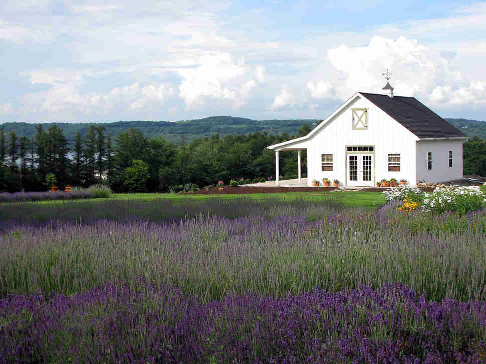 Lockwood Lavender Farm, Upstate New York Flowers
