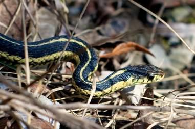 garter snake, snake, little snake