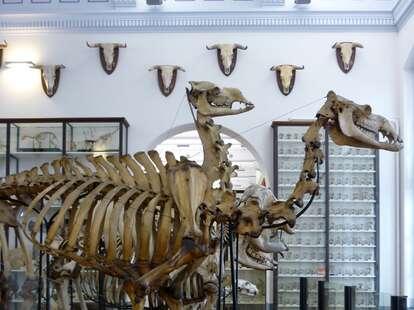Musee Fragonard Ecole National Veterinaire d'Alfort skeleton