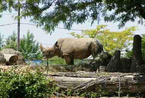 Whire Rhino at Toledo Zoo