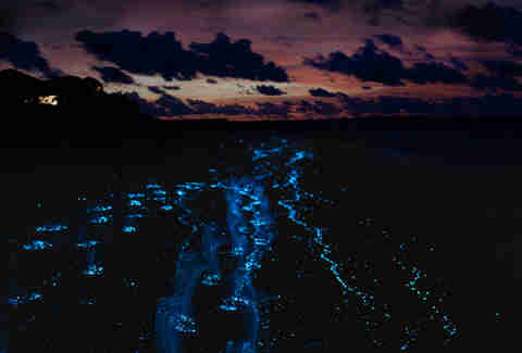 Puerto Mosquito Bioluminescent Bay Vieques Island in Puerto Rico