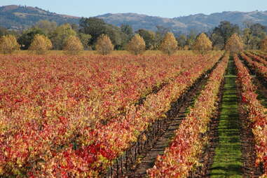 sebastopol vineyard