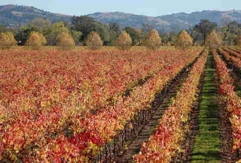 sebastopol vineyard