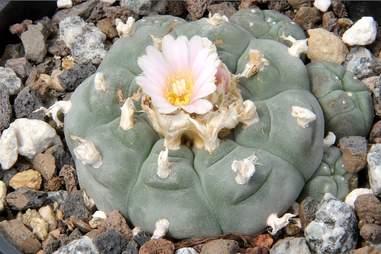 Mescaline peyote cactus