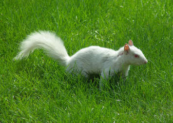 An albino squirrel