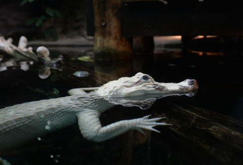 White Alligator