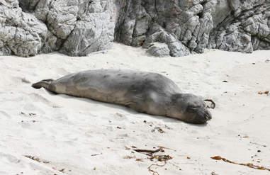 Napping harbor seal in California
