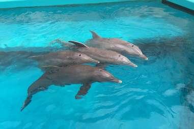 Texas State Aquarium dolphins