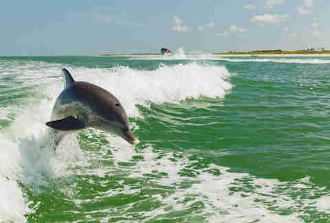 Dolphin in Clearwater Beach