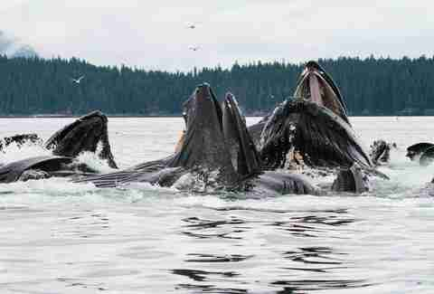 Humback whales in Alaska