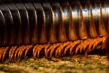 Giant African Millipeded