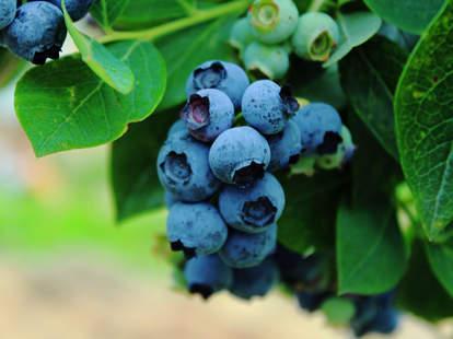 blueberry bush growing