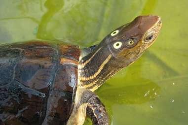 Four eyed turtle