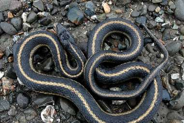 Giant Garter Snake