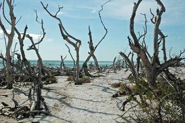 a beach strewn with dead trees