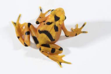 Panamanian Golden Frog