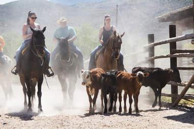 People riding horses herding cows Arizona