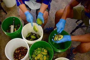 making avocado beer