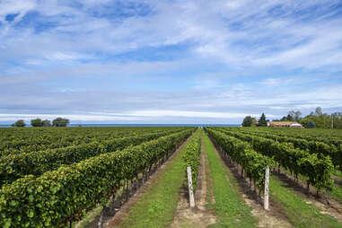 Ontario vineyard