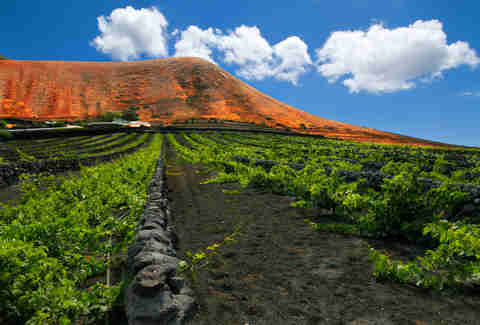 Canary island vineyard