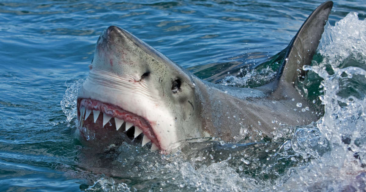 Why aren 39 t great white sharks in aquariums thrillist for Shark fishing destin fl