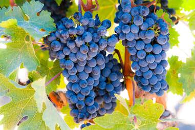 grapes in livermore