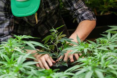planting marijuanas