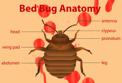 What Do Bed Bugs Look Like Bed Bug Bites Explained Thrillist