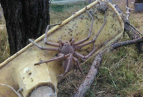 Huge Huntsman Spider