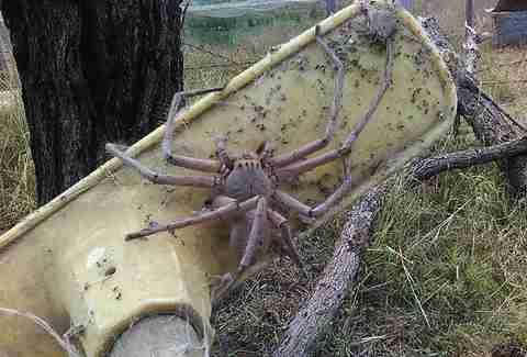Huge Huntsman Spider