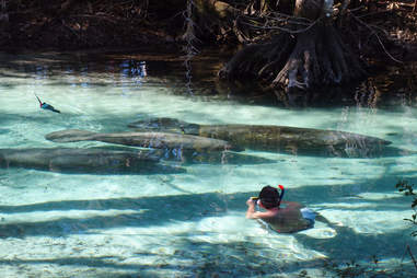 Manatee swimming at Three Sisters Spring, Crystal River