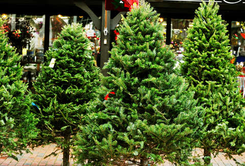 Christmas Tree Types.Types Of Christmas Trees Explained Douglas Fir Balsam Fir