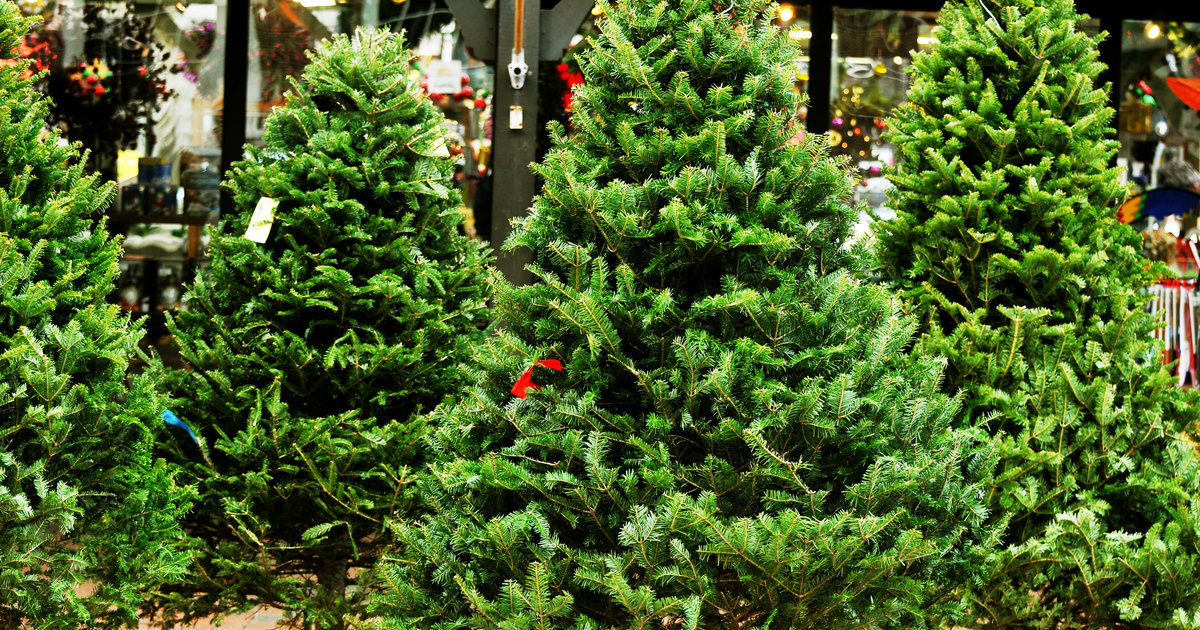 Types of Christmas Trees, Explained: Douglas Fir, Balsam Fir & More - Thrillist