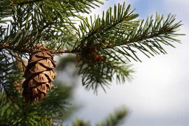 pine cone on douglas fir tree