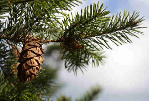 pine cone on douglas fir tree
