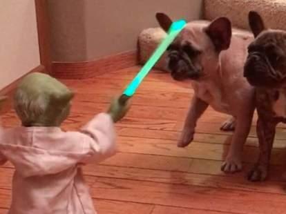 yoda versus french bulldogs
