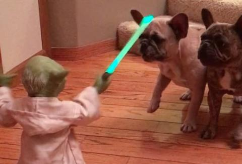 yoda versus french bulldogs