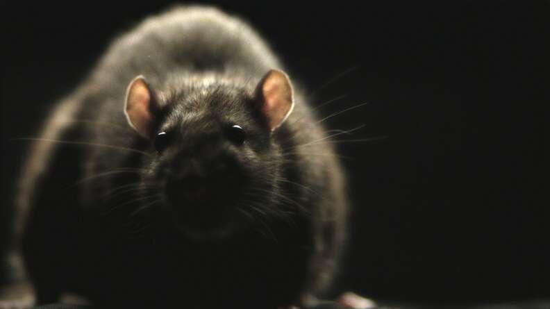 rats morgan spurlock best documentaries 2016
